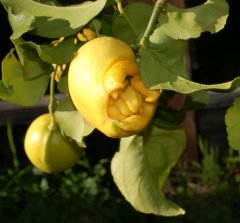 deformed lemon